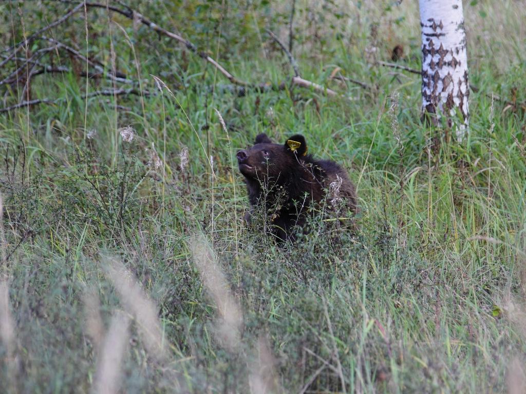 В Керженский заповедник выпустили трех медвежат